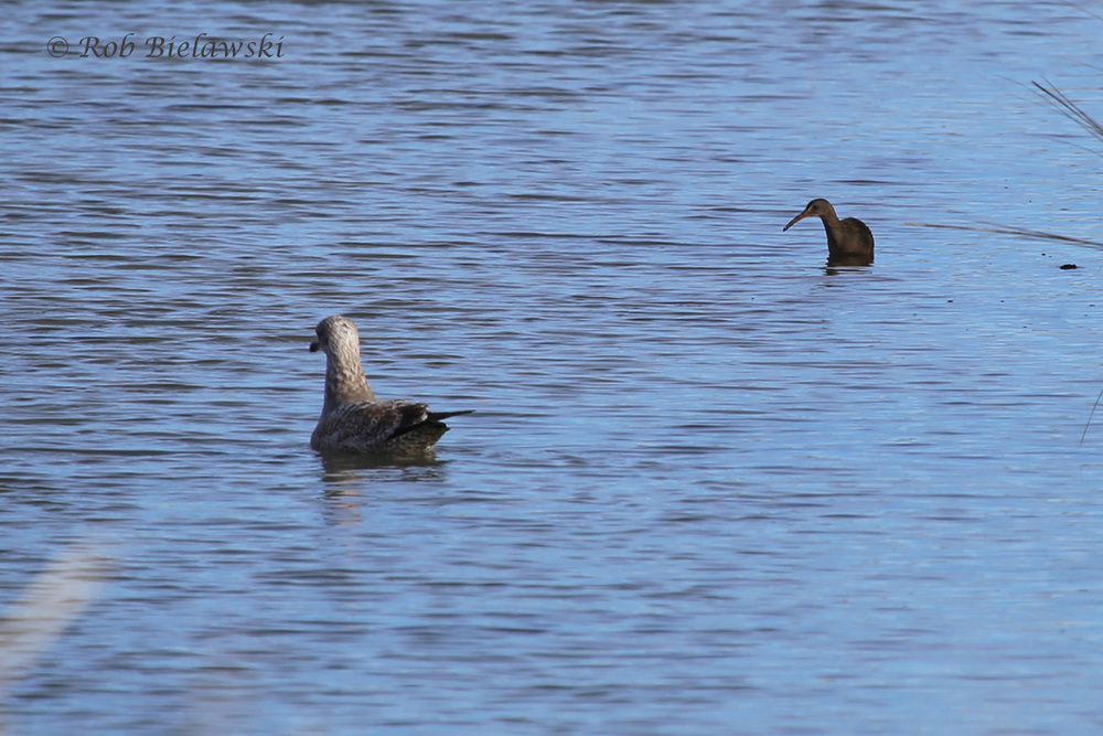 Herring Gull & Clapper Rail