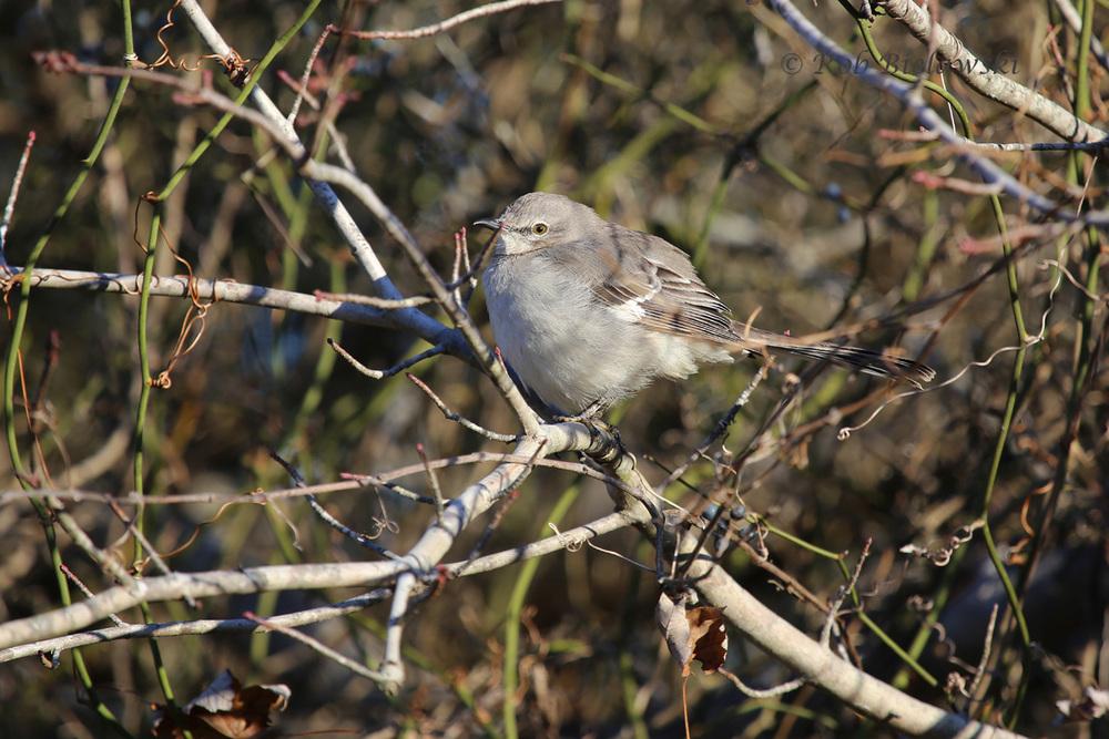 Northern Mockingbird seen at Back Bay National Wildlife Refuge on Saturday morning!