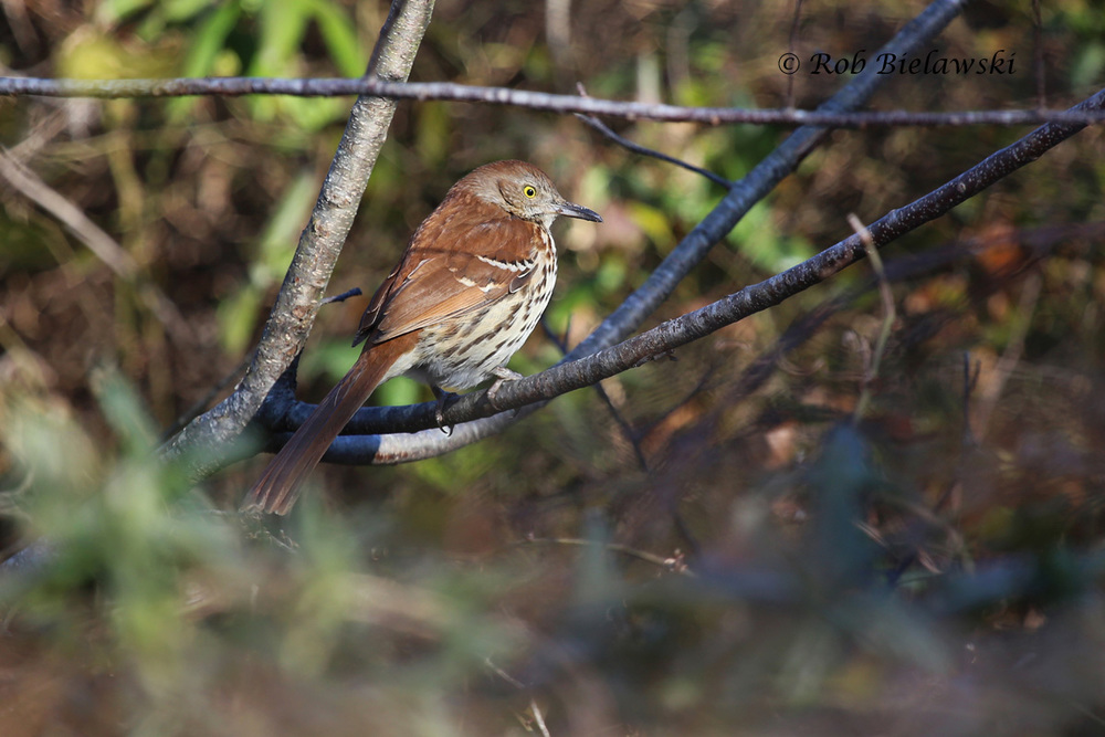 My first Brown Thrasher of the year, seen at Little Island Kayak Launch.