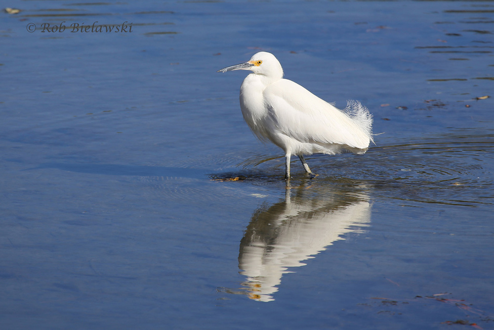 A beautiful Snowy Egret at Pleasure House Point on Saturday!