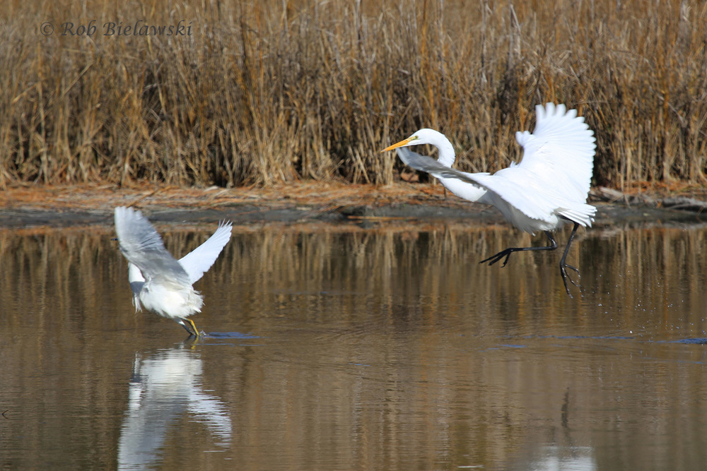 A Snowy Egret (left) being chased off by a Great Egret (right) at Pleasure House Point on Saturday!