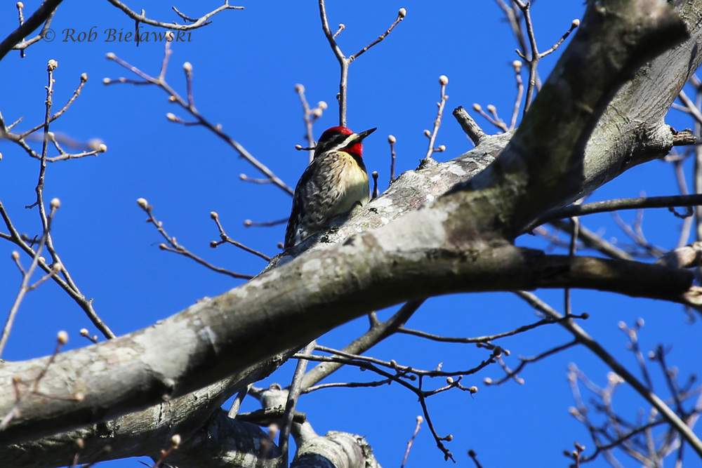 Adult male Yellow-bellied Sapsucker at First Landing State Park!