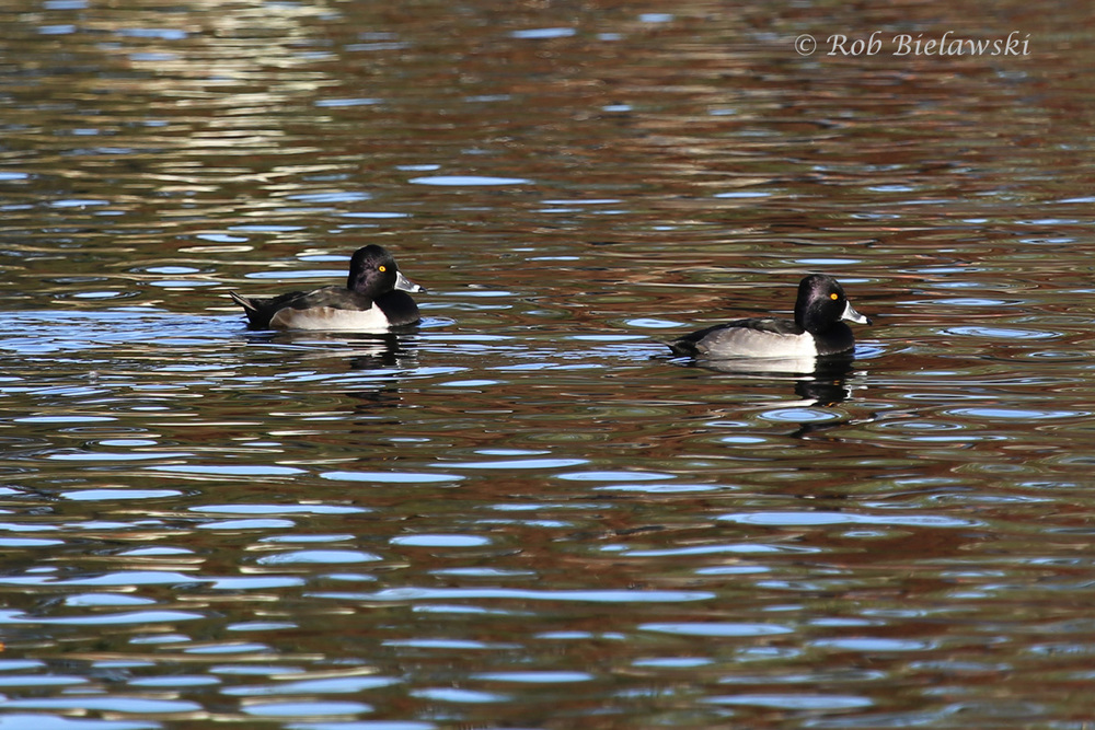 Ring-necked Ducks are just one of many species to be showing up at local ponds for the winter!