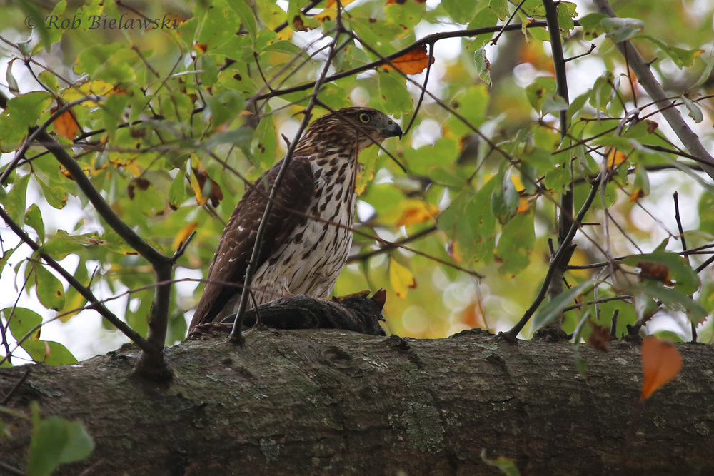 A juvenile Cooper's Hawks rests atop it's captured meal of Eastern Gray Squirrel. I love my squirrels, but, this was a breathtaking sighting to witness with my soon-to-be-nephew, Christopher!