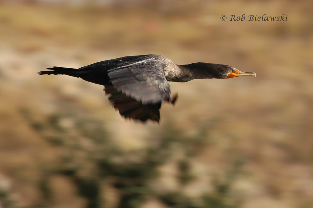 A Double-crested Cormorant fly-by at Pleasure House Point on Sunday morning!