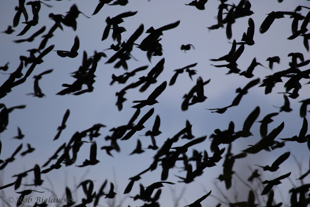 "A ""murmuration"" (large grouping of birds in the family Murmidae) seen on Halloween evening at Back Bay NWR!"