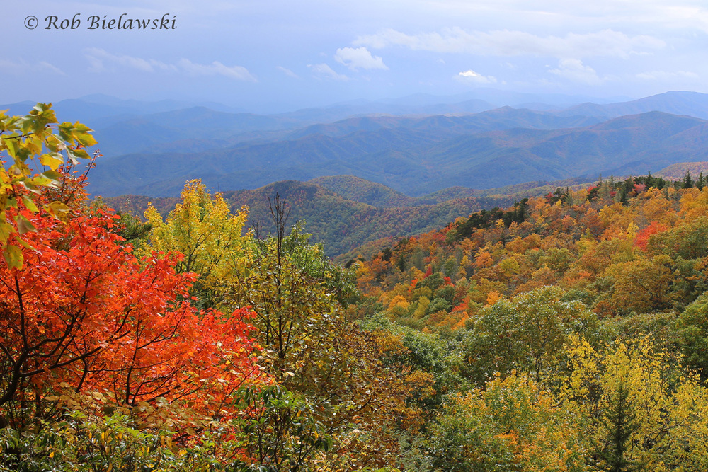 The vivid colors of changing maple trees along the Blue Ridge Parkway east of Mount Mitchell State Park in North Carolina.