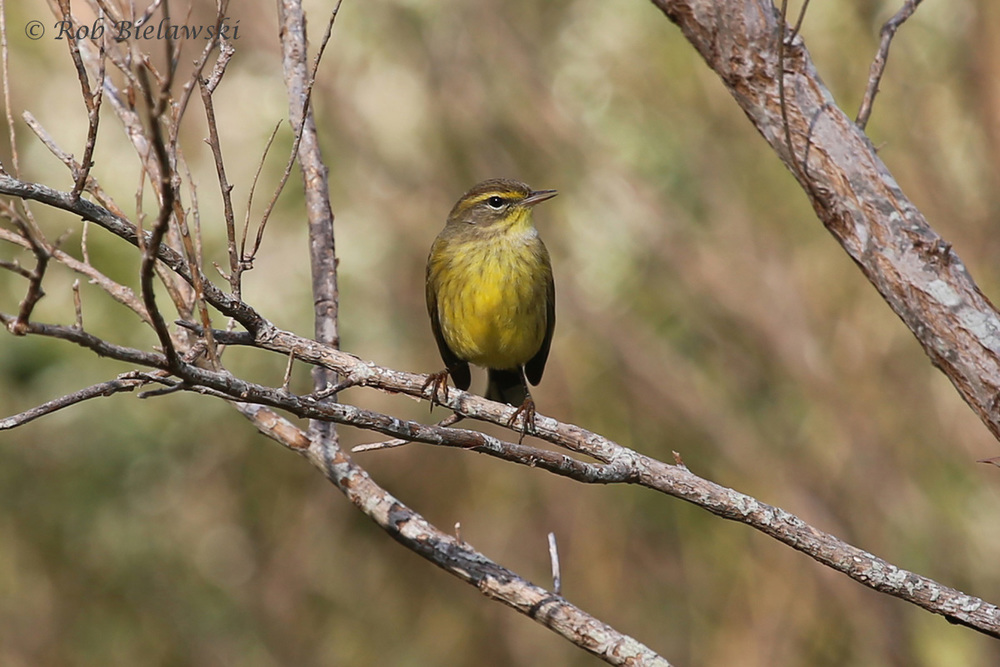 One of the most beautiful of our Fall warbler species, the very yellow Palm Warbler, seen here at Kiptopeke State Park!