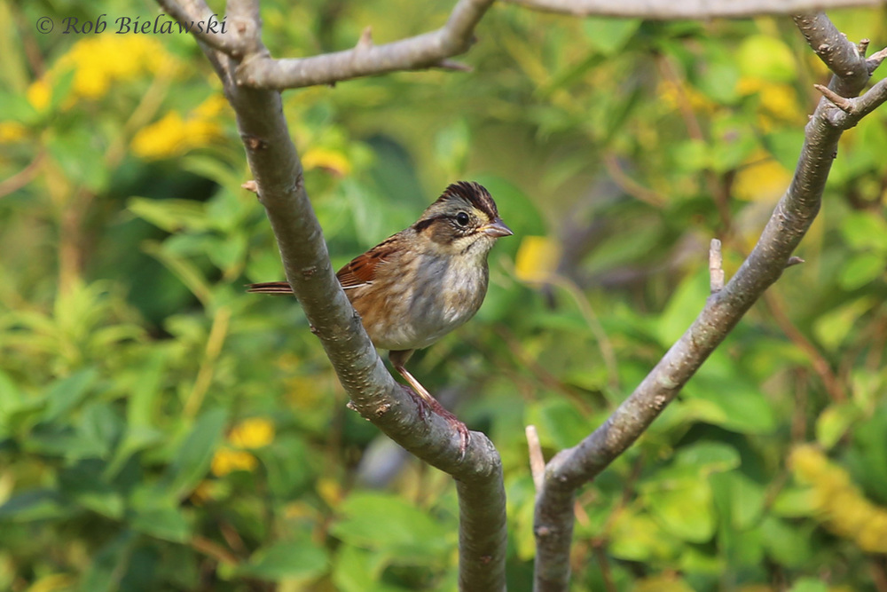 A Swamp Sparrow seen at Kiptopeke State Park!