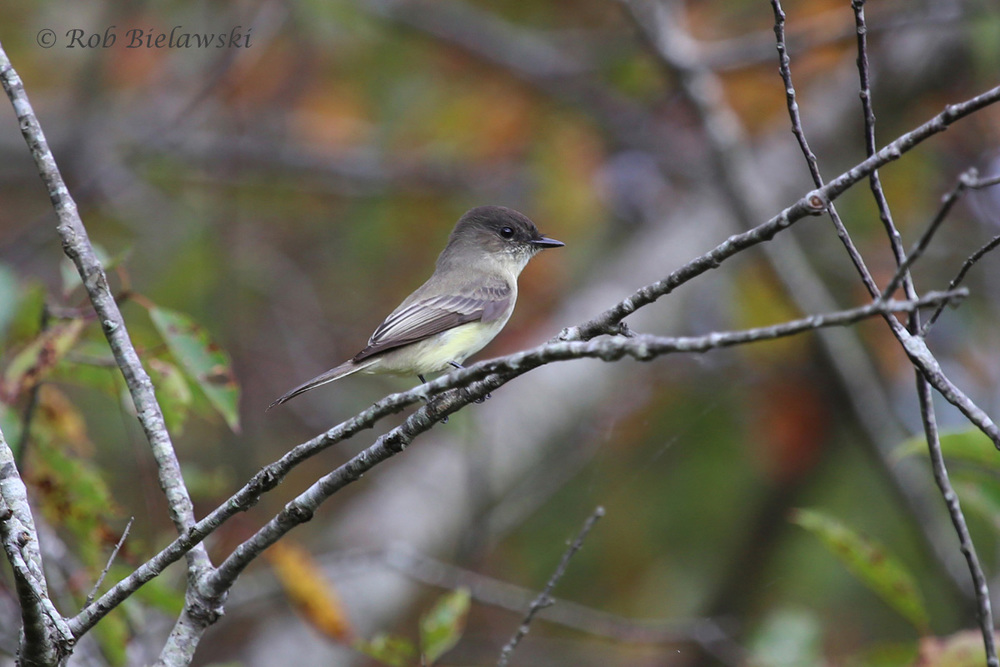 A beautiful Eastern Phoebe seen at Kiptopeke State Park on the Eastern Shore on Friday morning!