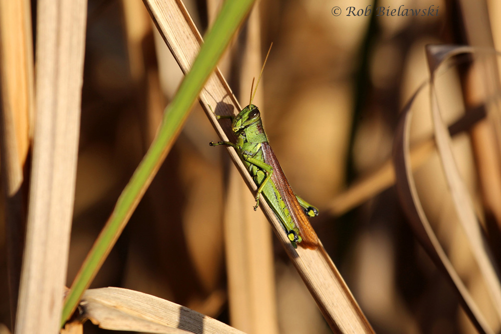An Obscure Birdwing Grasshopper seen at Back Bay National Wildlife Refuge!
