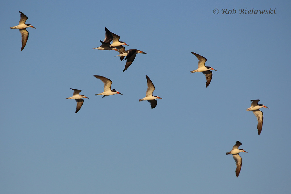 Flight of Black Skimmers over Pleasure House Point!