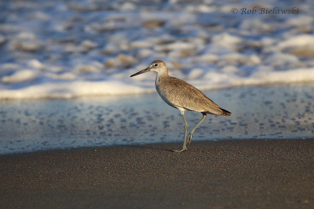 A beautiful Willet along the shores of Cape Henry in Virginia Beach!