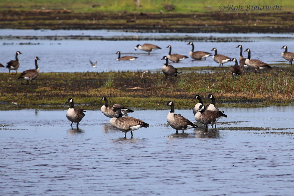 Large numbers of Canada Geese were seen at Mackay Island NWR this week!
