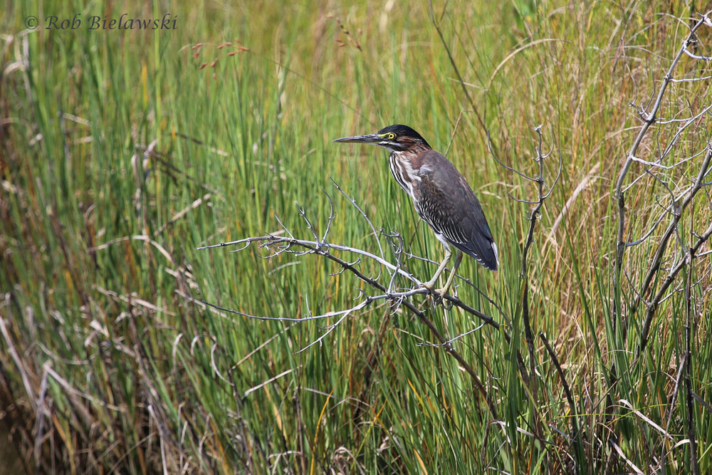 Another of the waders, although the smallest one you're likely to find at Pleasure House Point, this is a Green Heron. I've seen quite a number of them at the park over the past couple of weeks, and they don't appear to frightened by humans.