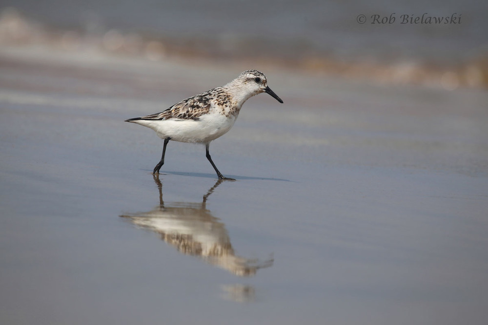 The standard bird that you've all seen chasing the waves back and forth as they hunt for small invertebrates to dine on: the Sanderling!