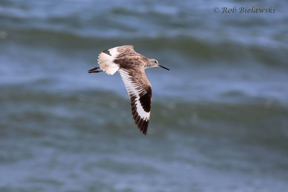 Tall, lengthy shorebirds like this Willet are being seen on beaches all over the region right now as they make their way southward in the coming weeks for migration.