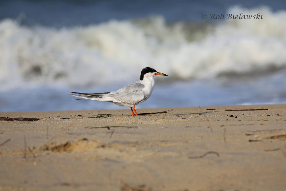 Forster's Tern along Cape Henry in Virginia Beach!