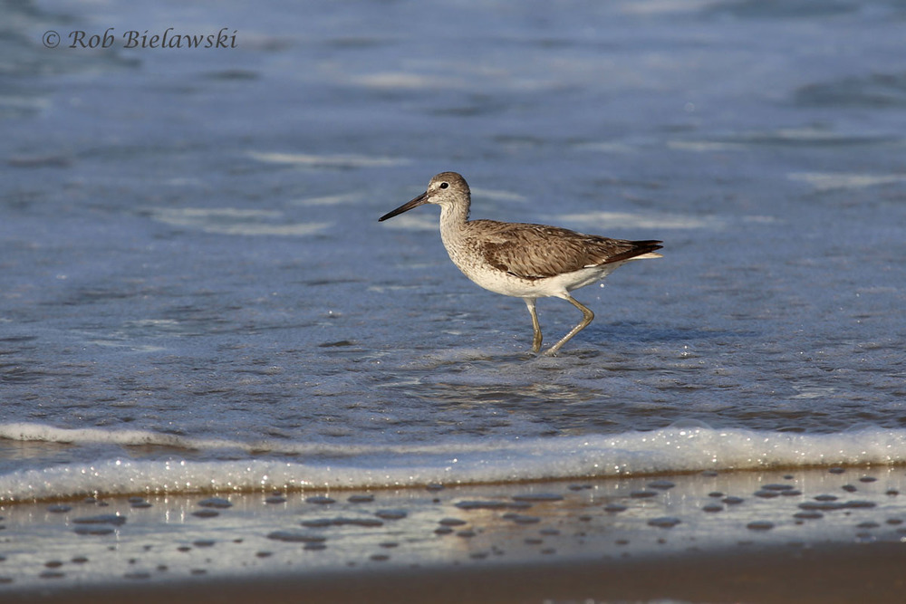 My first Willet in Virginia Beach this year, about time!