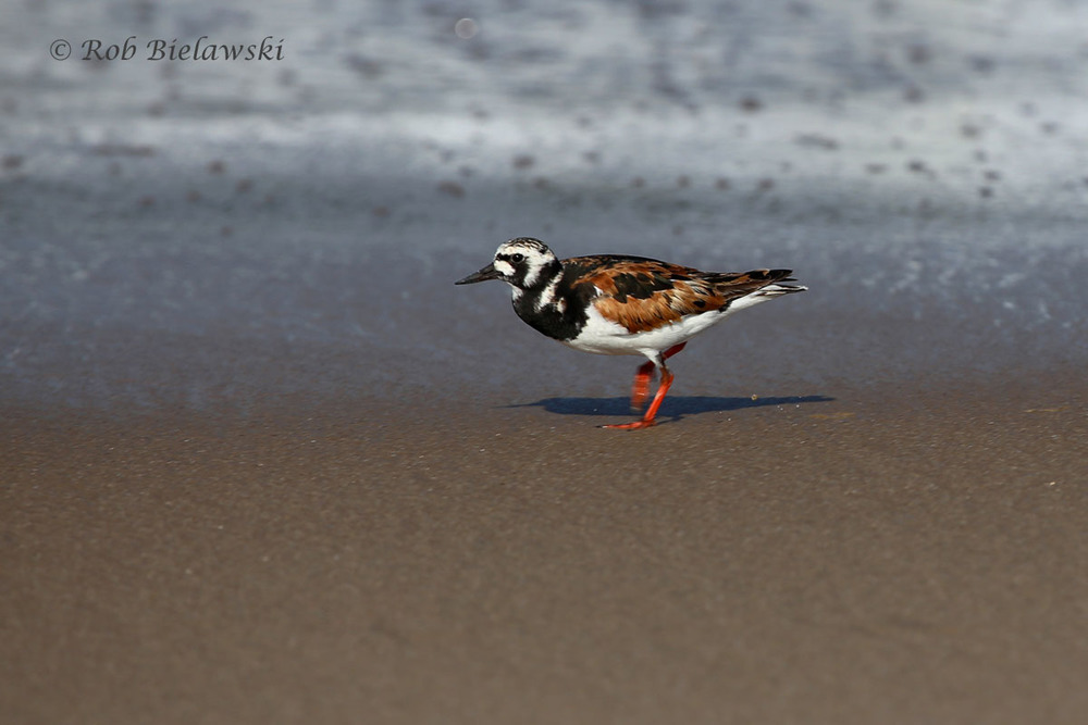 Ruddy Turnstone in breeding colors on the beach!