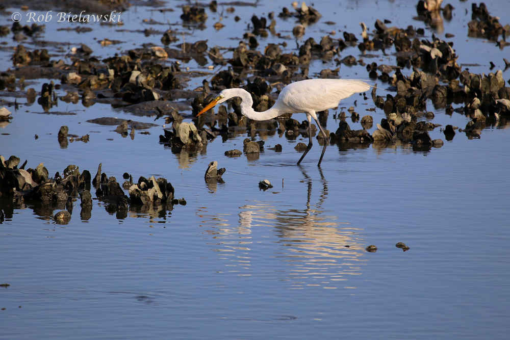 Great Egret feeding on the oyster flats during low tide at Pleasure House Point!