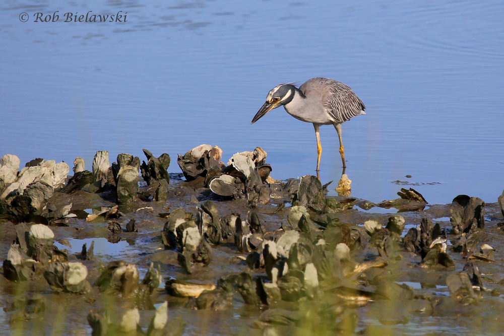 Adult Yellow-crowned Night-Heron feeding on the oyster flats during low tide at Pleasure House Point!