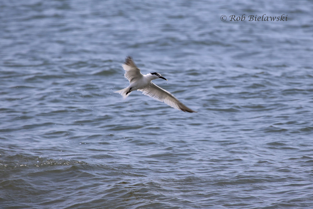 My first Sandwich Tern of the year. Note the yellow tip to the bill, this was seen over the Atlantic Ocean just offshore of Back Bay NWR.
