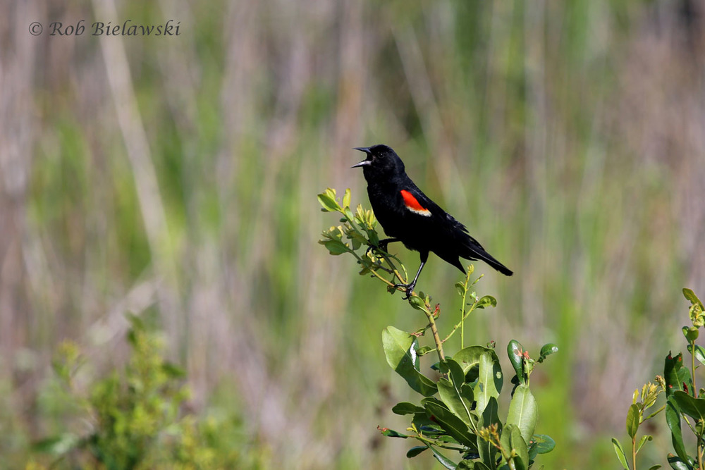 Adult male Red-winged Blackbird singing along the East Dike.