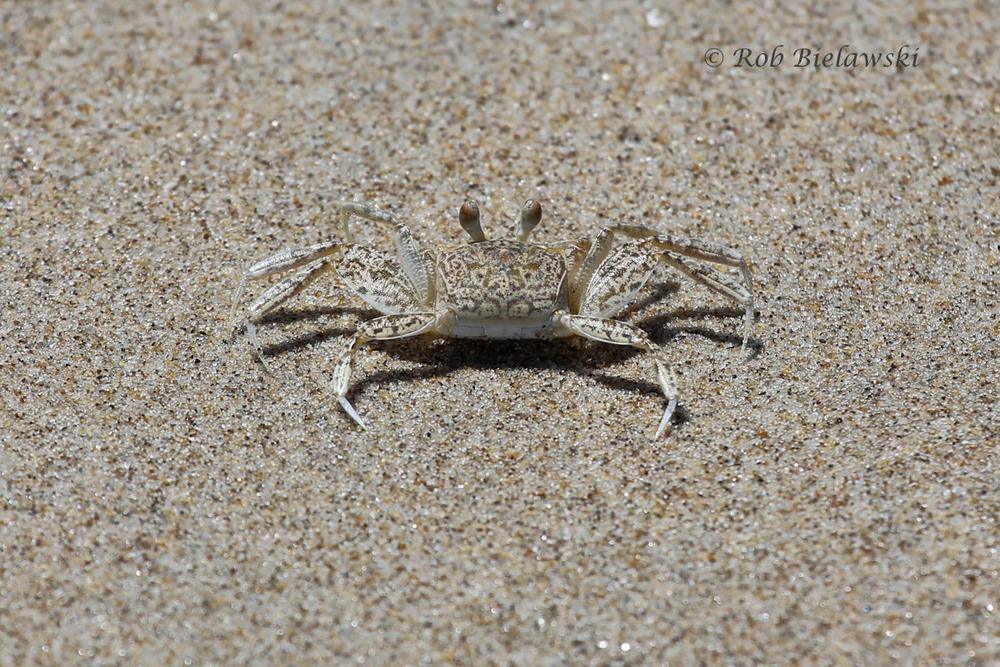 An Atlantic Ghost Crab showing off it's beautiful camouflage that keeps it invisible to birds overhead.