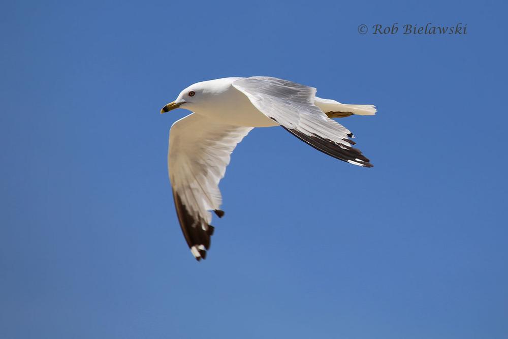 Ring-billed Gull seen over the Oceanfront.