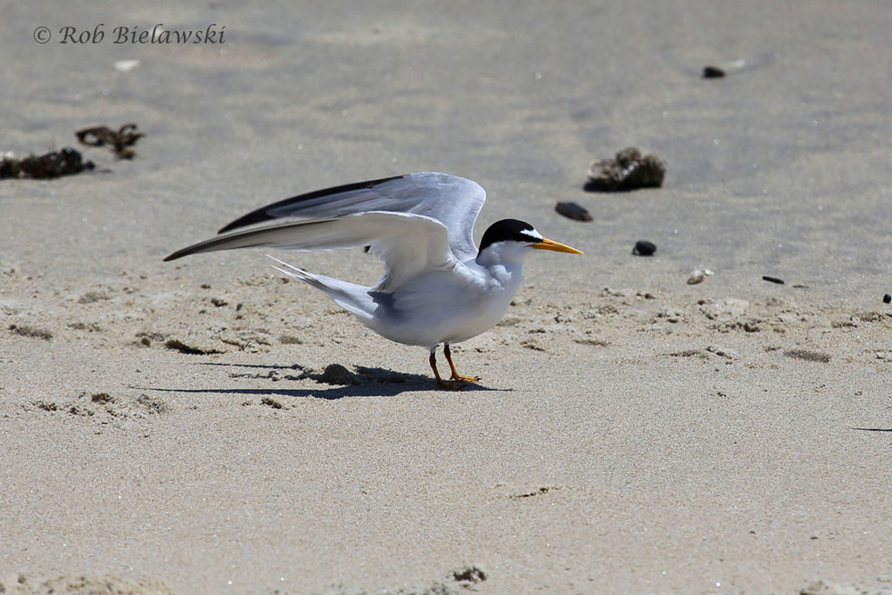 An unusually still Least Tern about to take off from the north end of the Virginia Beach Oceanfront.