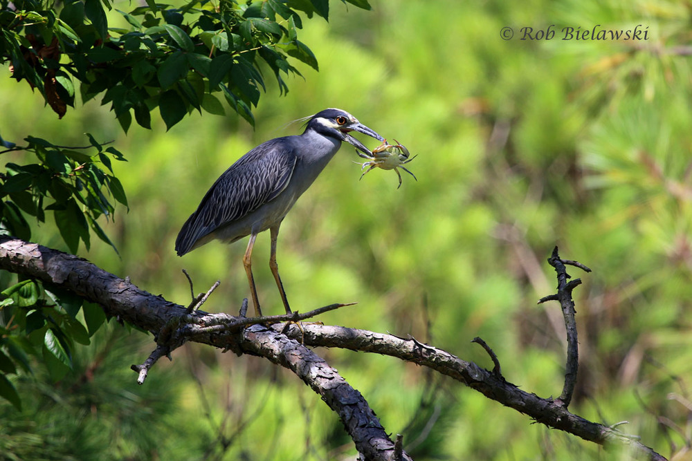 Yellow-crowned Night-Heron & a freshly caught Blue Crab at Pleasure House Point!
