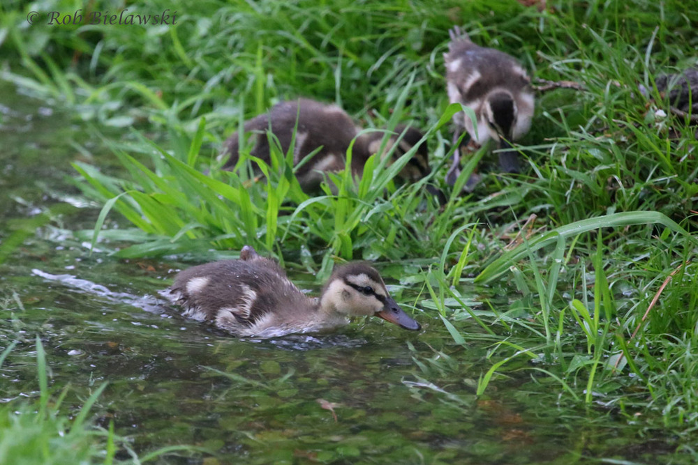 Mallard Ducklings swimming up a rainwater stream produced by Hurricane Arthur.