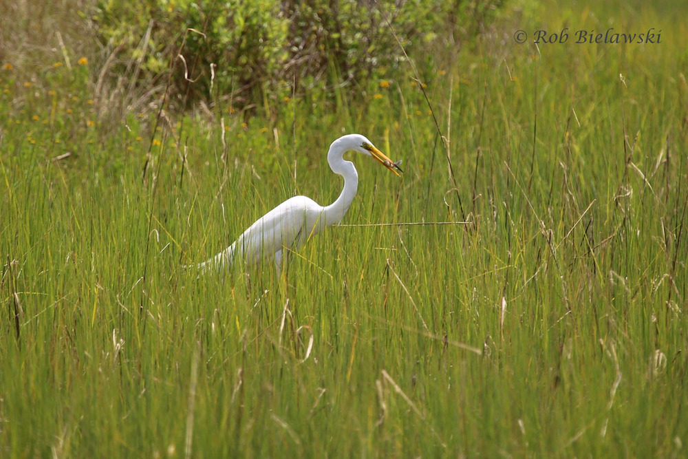 Great Egret & fresh caught fish at Pleasure House Point!