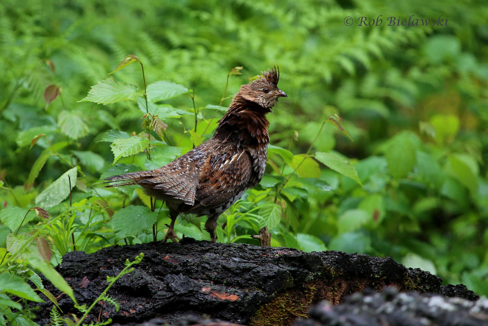 A very ruffled up Ruffed Grouse that was seen right in the yard!