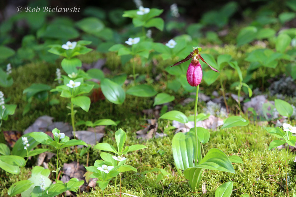 One of the many, many Moccasin Flowers seen during the trip, probably due to the huge amounts of rain.