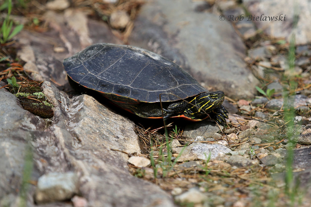 Eastern Painted Turtle out looking for a place to lay it's eggs.