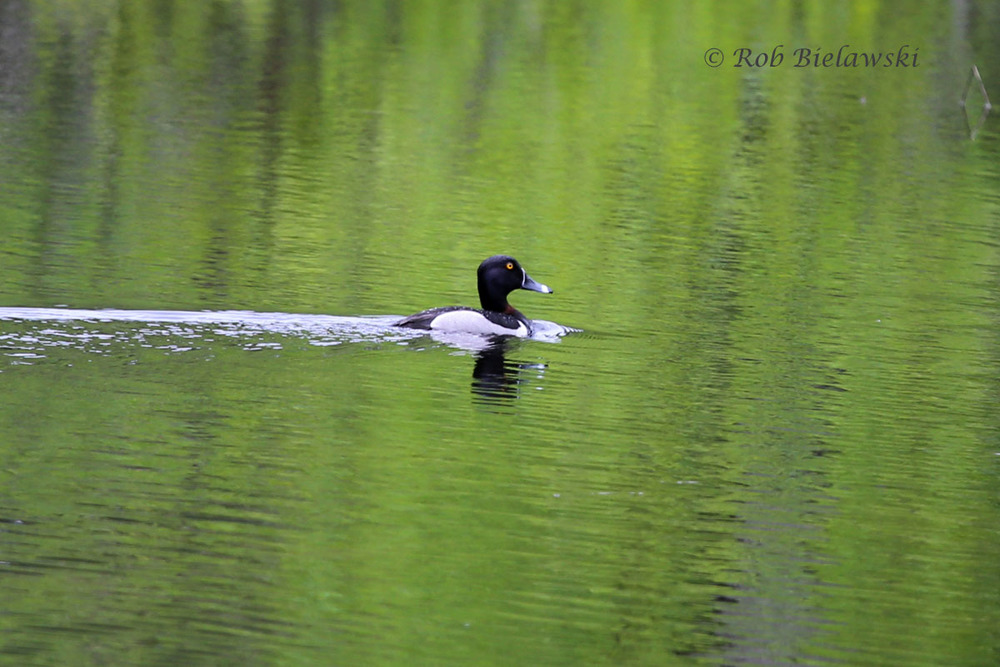 An adult male Ring-necked Duck seen in a pond along Highway 1 while driving to the North Shore one rainy day.