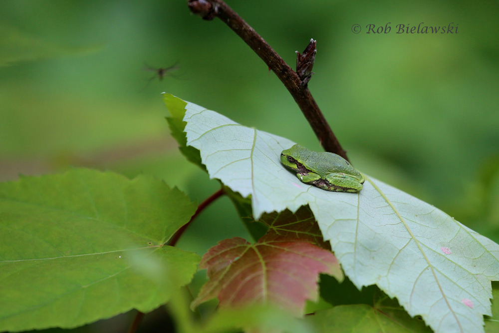A Green Treefrog & a prime example of a Minnesota Mosquito.