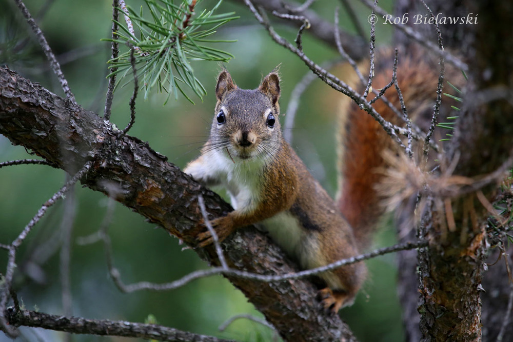 A hyperactive Red Squirrel far back in the woods from my dad's property.