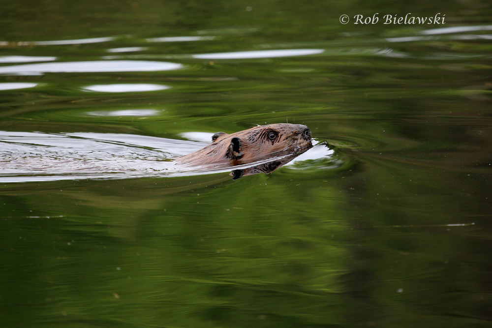 American Beaver swimming around his pond down our logging road.
