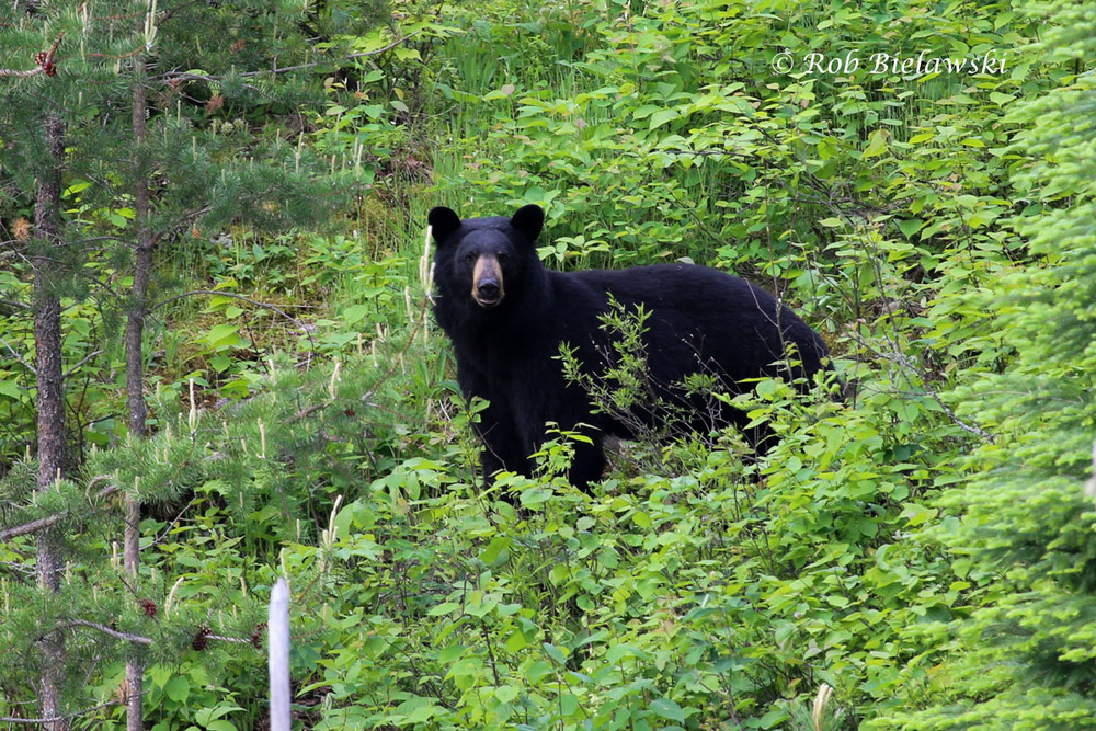 The first time I've ever photographed a Black Bear in the wild!