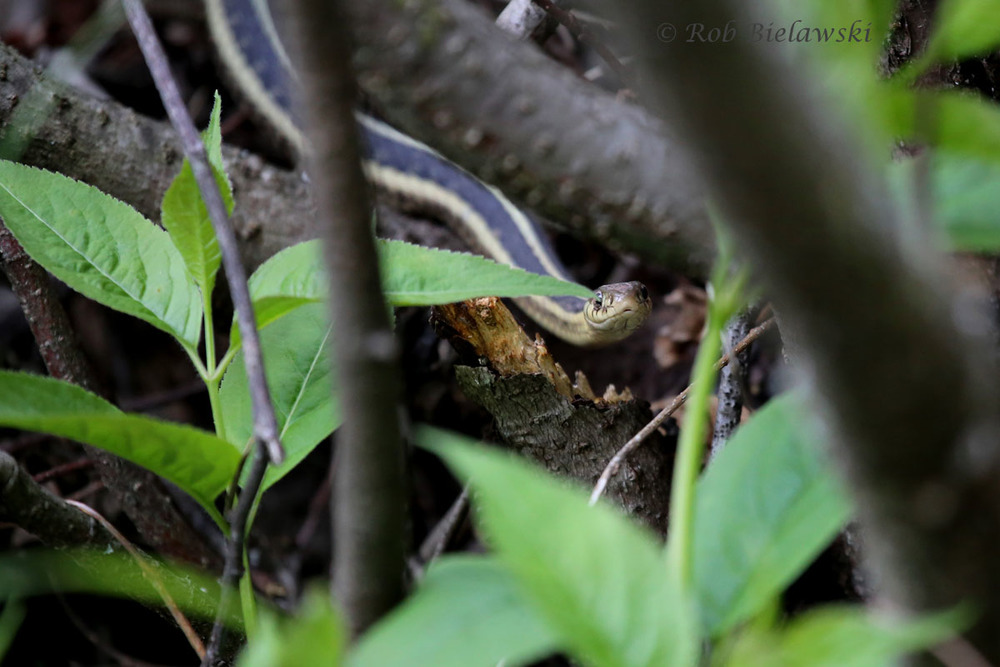 Eastern Garter Snake hiding among the underbrush at Tettegouche State Park.