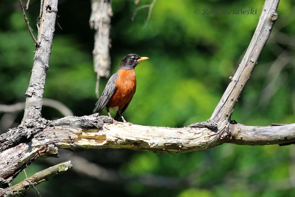 American Robin at Loth Springs, Waynesboro, VA.