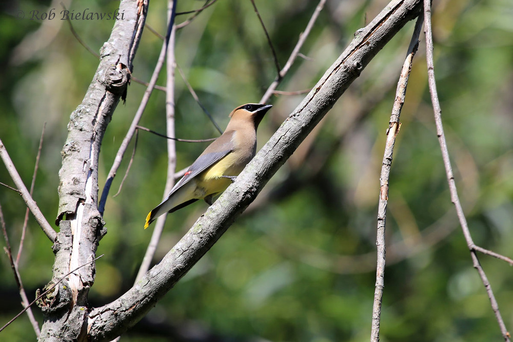 One of several Cedar Waxwings seen at Loth Springs, Waynesboro, VA.