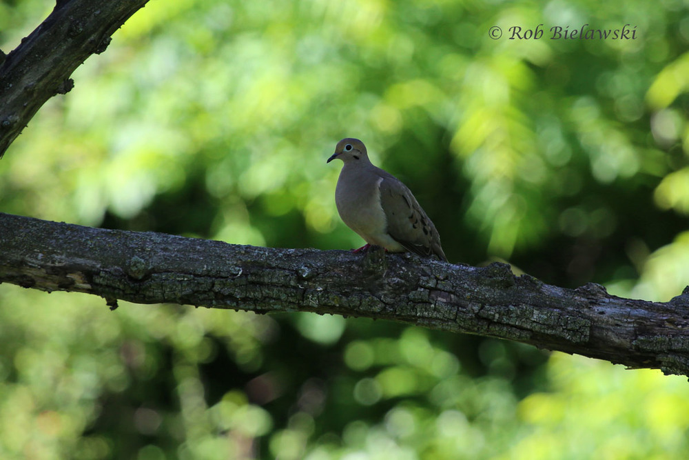 Mourning Dove perched above Loth Springs, Waynesboro, VA.