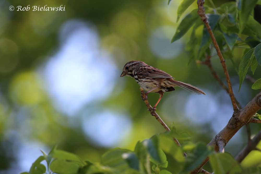 Song Sparrow at Loth Springs, Waynesboro, VA.