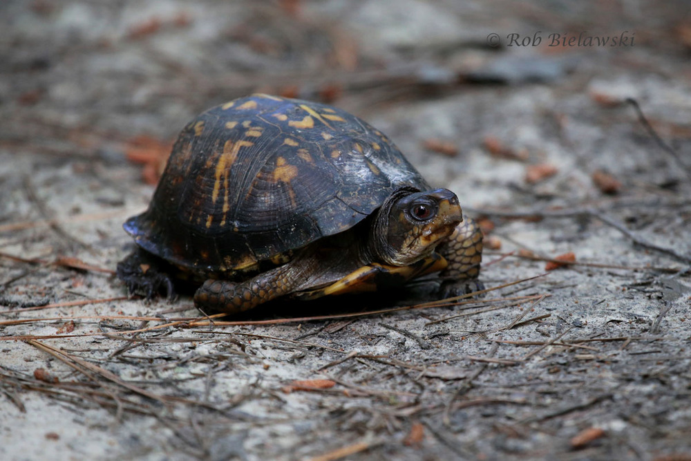 Eastern Box Turtle crossing the trail at Raven Rock State Park!