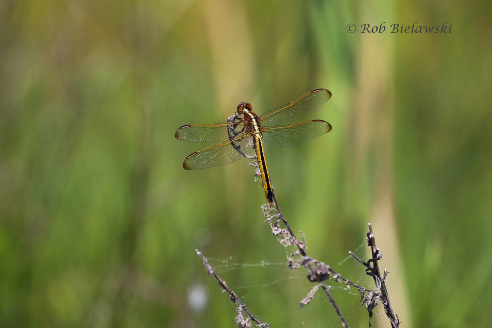 Dragonflies are now everywhere at Back Bay NWR! This one I'm told is a Spangled Skimmer!