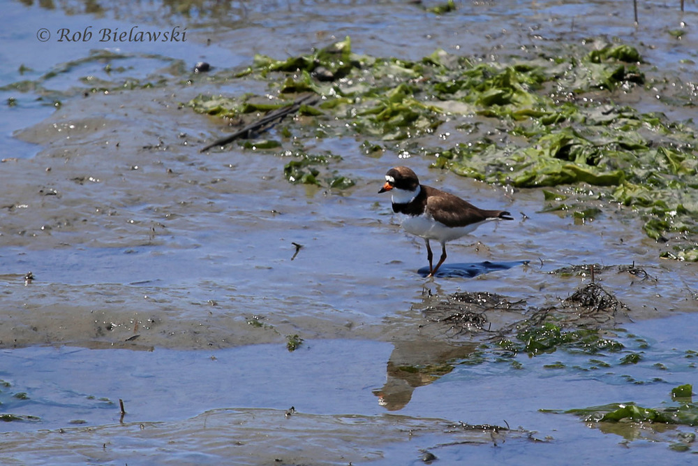 The striking Semipalmated Plover on the mudflats of Tom's Cove.